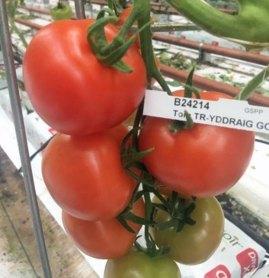 Y Ddraig Goch, or Red Dragon tomato