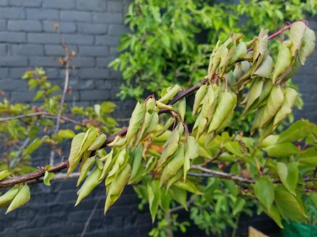 Branch wilting