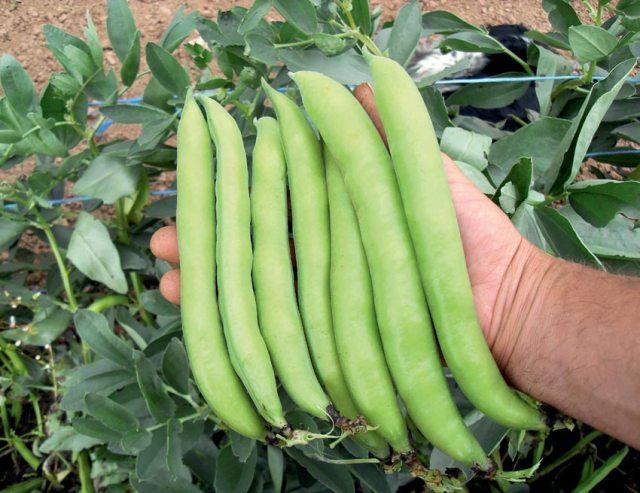Autumn-cropping broad bean Luz de Otono. Picture; Dobies