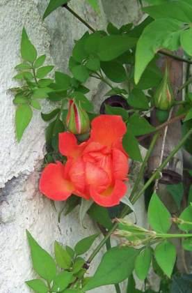 Supposed Harlequin rose