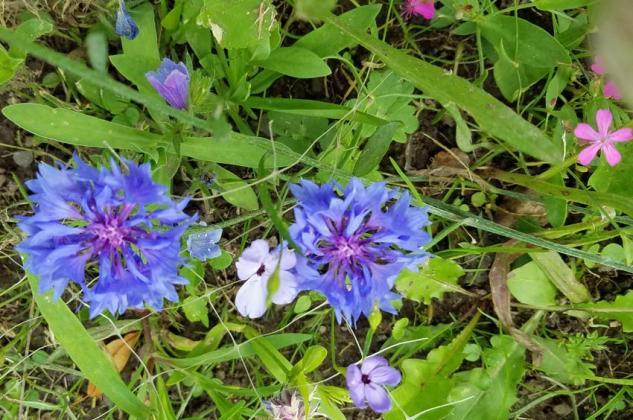 Cornflower in the meadow