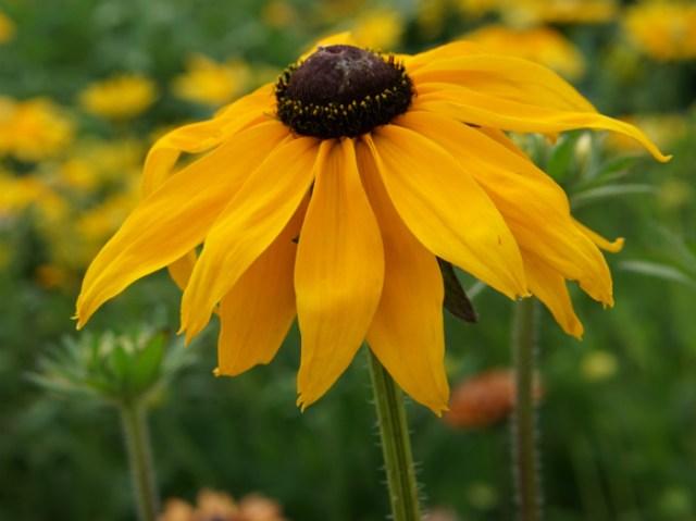 RSPB Rudbeckia Marmalade. Picture; Mr Fothergill's