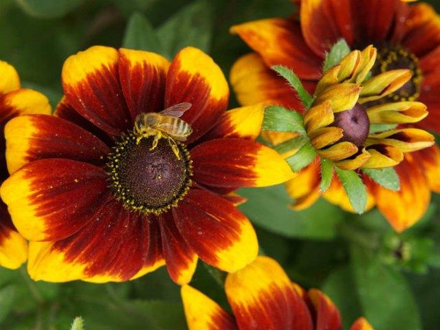 Rudbeckias are perfect for pollinators. Picture; Mr Fothergill's
