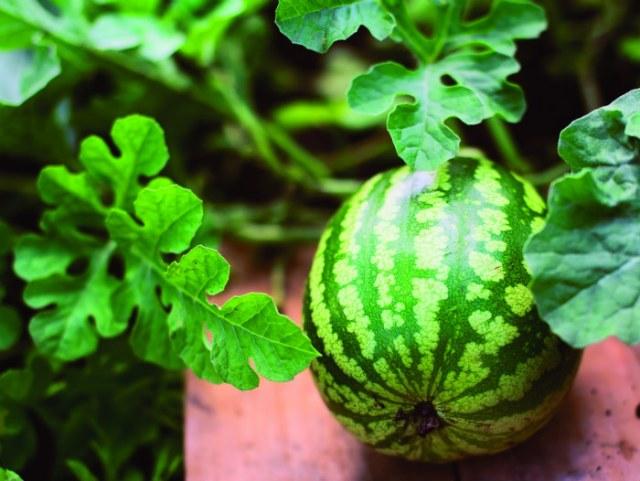 Watermelon Mini Love F1. Picture; Thompson & Morgan