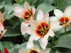 Tulip Zombie. Picture; Lubera