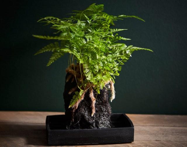 Davallia Lava Plant. Picture; Suttons