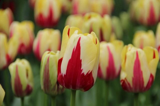Tulip World Expression. Picture; Lubera