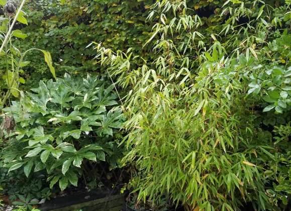 Fatsia japonica variegata and bamboo Fargesia Pingwu