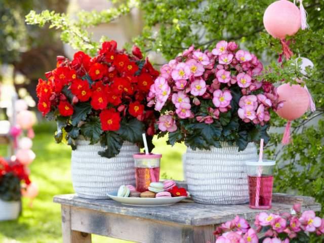 Begonia Dreams Garden Maca Duo. Picture; Thompson & Morgan