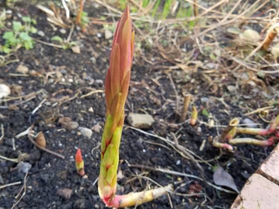 Euphorbia griffithii Fireglow, February 29