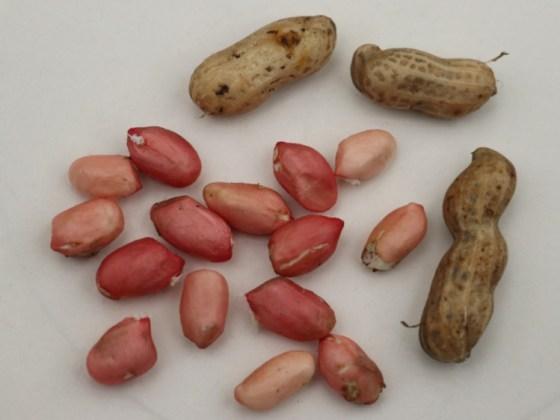 Peanut Just Pink. Picture; Lubera