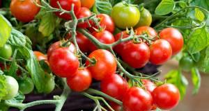 Tomato Tumbling Bella. Picture; Dobies