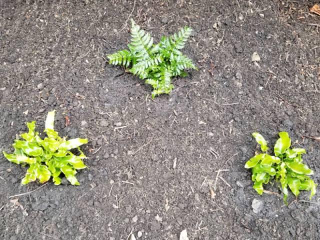 Dryopteris erythrosara (Autumn fern) and Asplenium scolopendrium (Hart's Tongue fern)