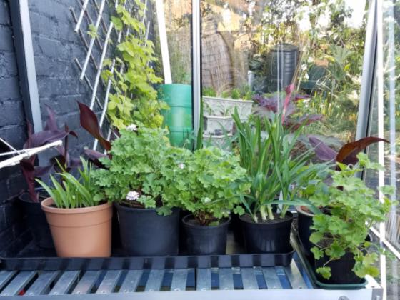Scented geraniums, agapanthus, cannas, tuberose and dahlias in the greenhouse