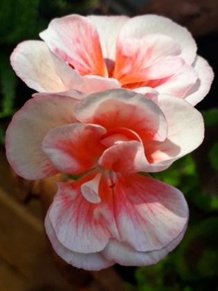 Salmon-pink geranium