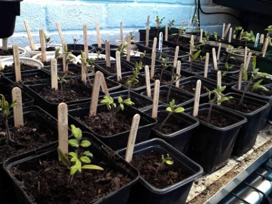 Tomato, pepper and tomatillo seedlings