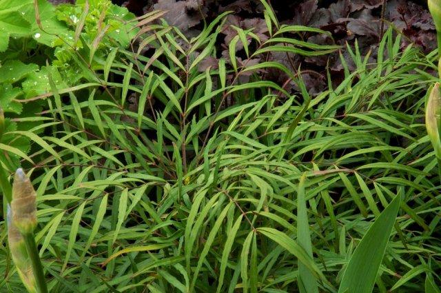 Mahonia eurybracteata subsp. ganpinensis Soft Caress. Chelsea Plant of the Year 2013. Picture; RHS/Tim Sandall