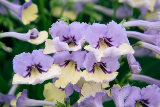 Close-up of flowers of Streptocarpus Harlequin Blue. Picture; RHS/Tim Sandall