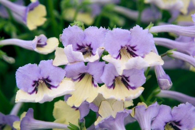 Close-up of flowers of Streptocarpus Harlequin Blue. Picture; RHS/Tim Sandall