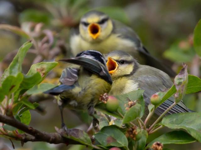 Blue tit fledglings