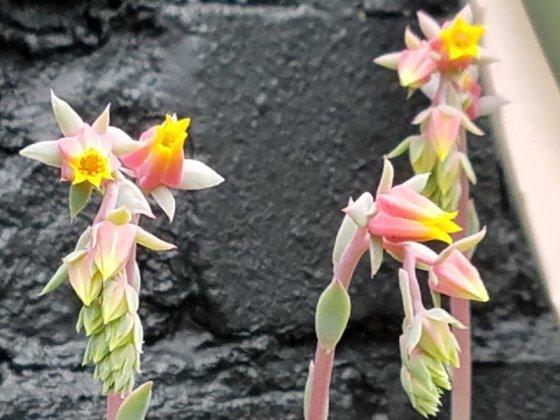 Echeveria flowers, June 10