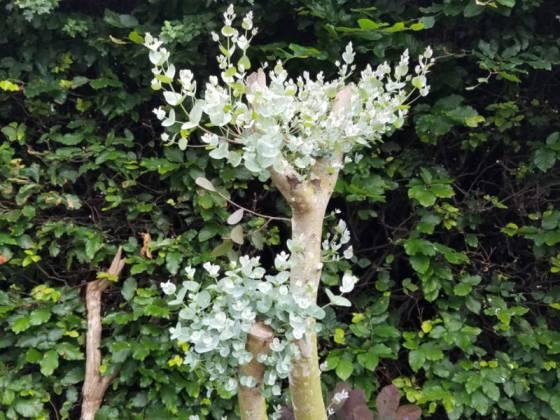 Eucalyptus gunnii, June 23