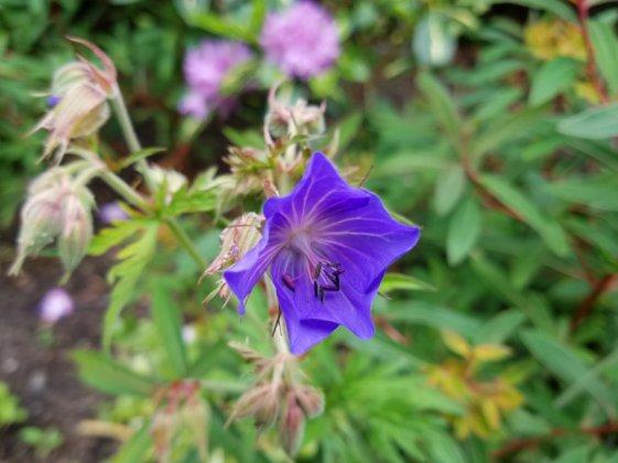Geranium Purple Haze, June 9