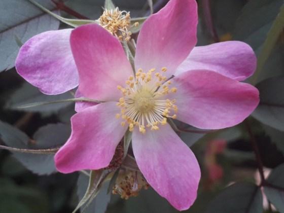 Rosa glauca, June 24