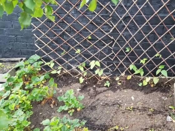 Runner beans, lettuce and strawberries, June 23