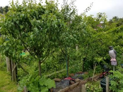 Pear, damson and apple trees unpruned