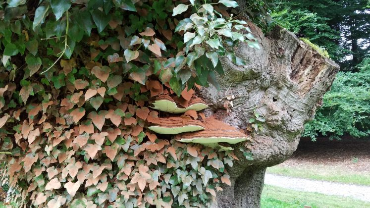 Fungus and ivy colonise a dead tree