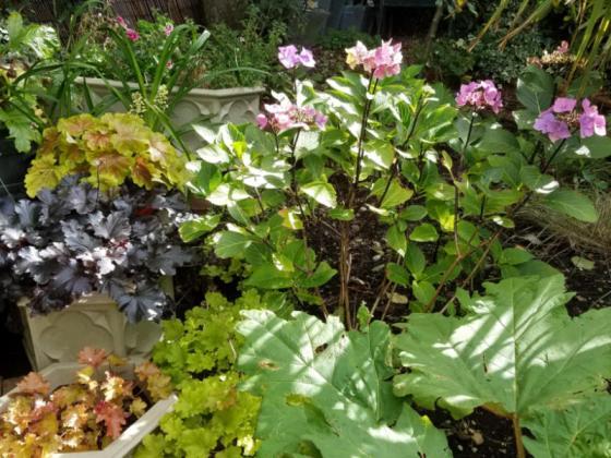 Heucheras, hydrangea Zorro and Rheum palmatum, August 30
