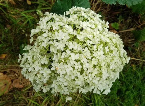 Splendid white flower head