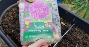 Allium Rosy Dream from Taylors Bulbs
