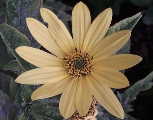 Helianthus Lemon Queen, Sept 8