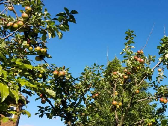 Old apple tree full of fruit, Sept 20