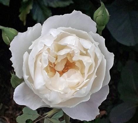Rose Desdemona, Sept 8