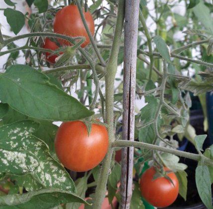 Tomato Maskotka, Sept 8