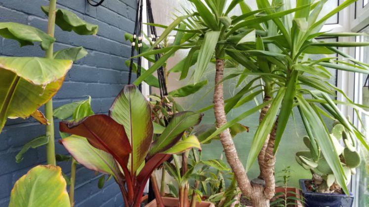Bananas, huge Yucca and ginger