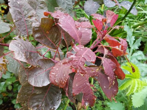 Smoke bush (Cotinus), Oct 21