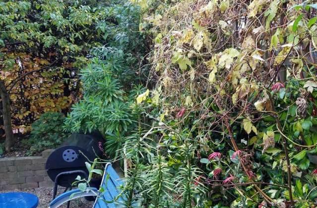 Golden hop (Humulus) and Acer Trompenburg, Oct 29