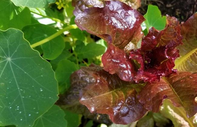 Lettuce Intred, Oct 8