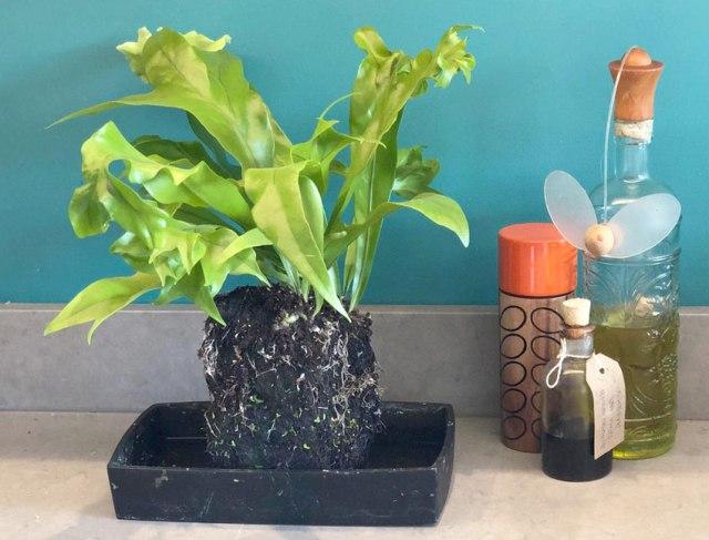 Lava Plant Punctatum - Green Flame. Picture; Suttons