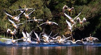 Sorin-Onisor-pelicani-08