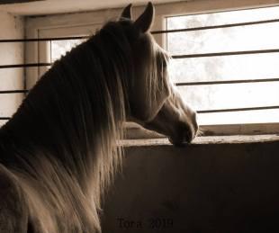 Gabriel-Tora-cai-arabi-arabian-horses-01