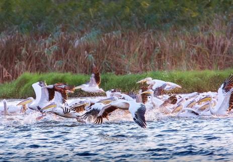 Sorin Onisor - Delta Dunarii-14-pelicani