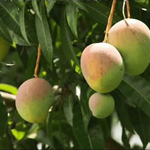 What is Organic Alphonso Mangoes