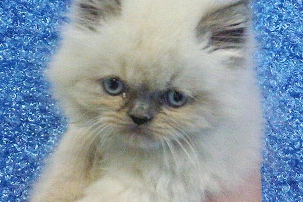Himalayan Kittens For Sale Manhattan Puppies Amp Kittens