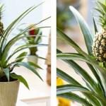 Aprenda a cultivar o abacaxi como planta de casa!