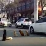 Cachorros se recusam a deixar amigo atropelado no meio da rua e emocionam a todos com gesto.